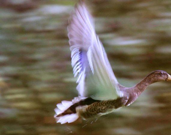 Vom Wasser abhebende Ente