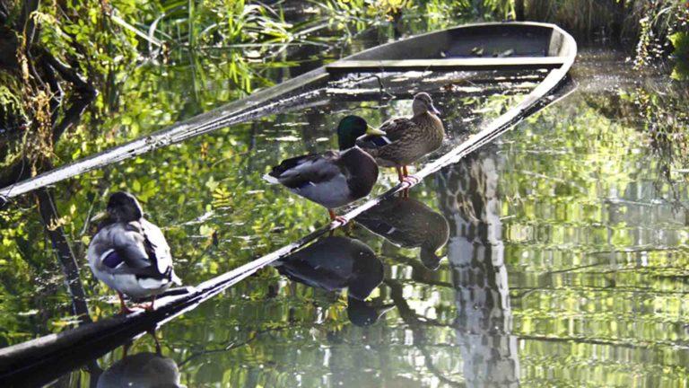 Enten auf einem abgesenkten Spreewaldkahn